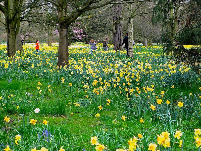 daffodils - Spring daffodils car-free