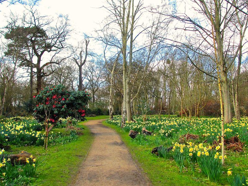 woodland walk - Spring daffodils car-free