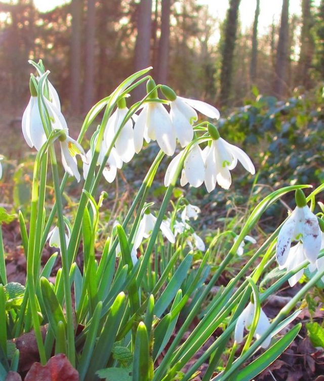 Myddelton house snow drops flowers pictures