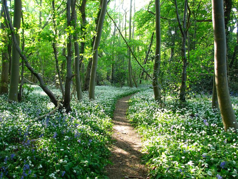 bluebells and wild garlic- Bluebells by bus and train