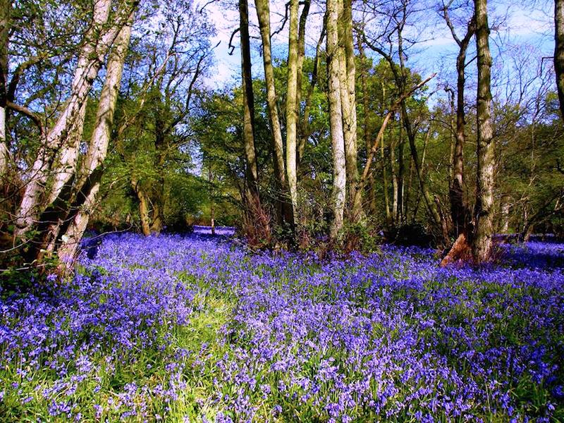 bluebell wood - Bluebells by bus and train