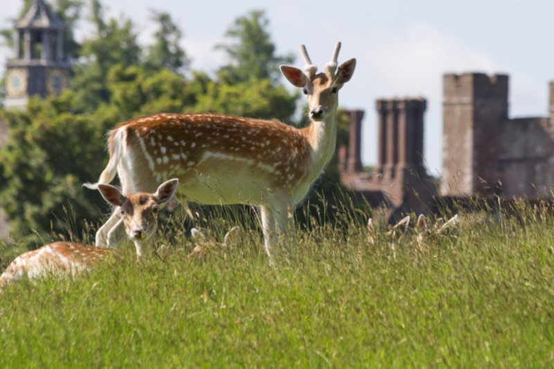 Deer in the grounds of NT Knole