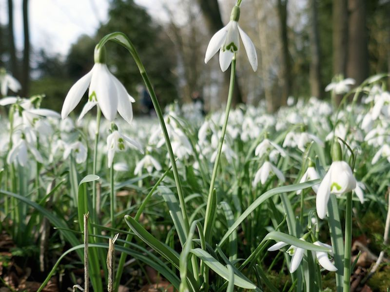 Snowdrops - Braintree car-free adventures