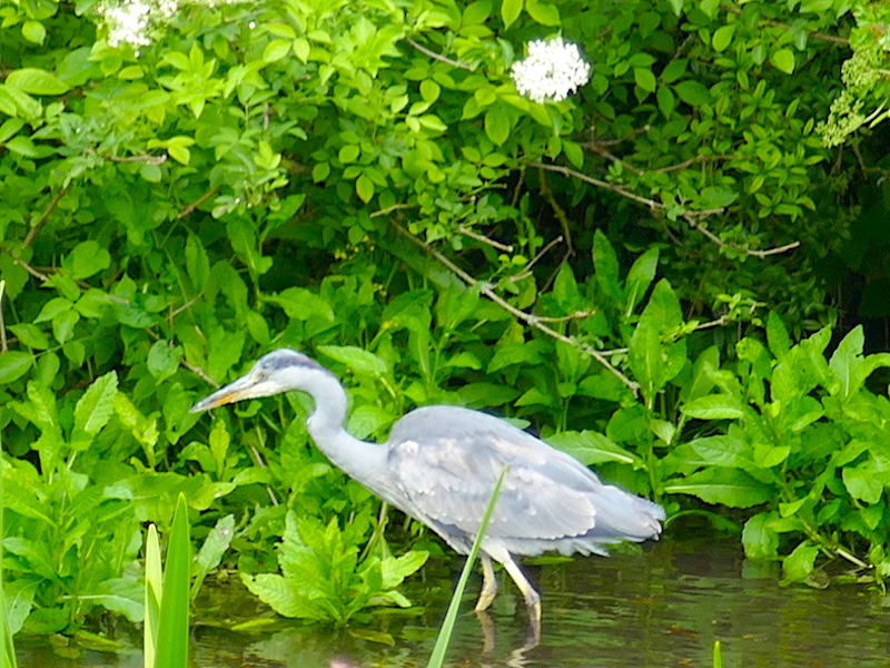 Heron - spotted on our car-free summer adventures