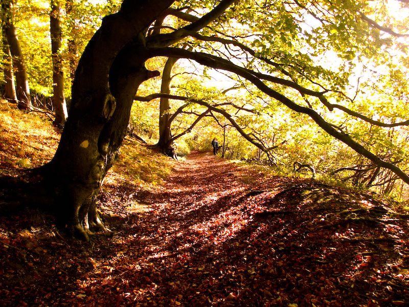 Tree in sunlight on Ridgeway - Autumn colour car-free trips