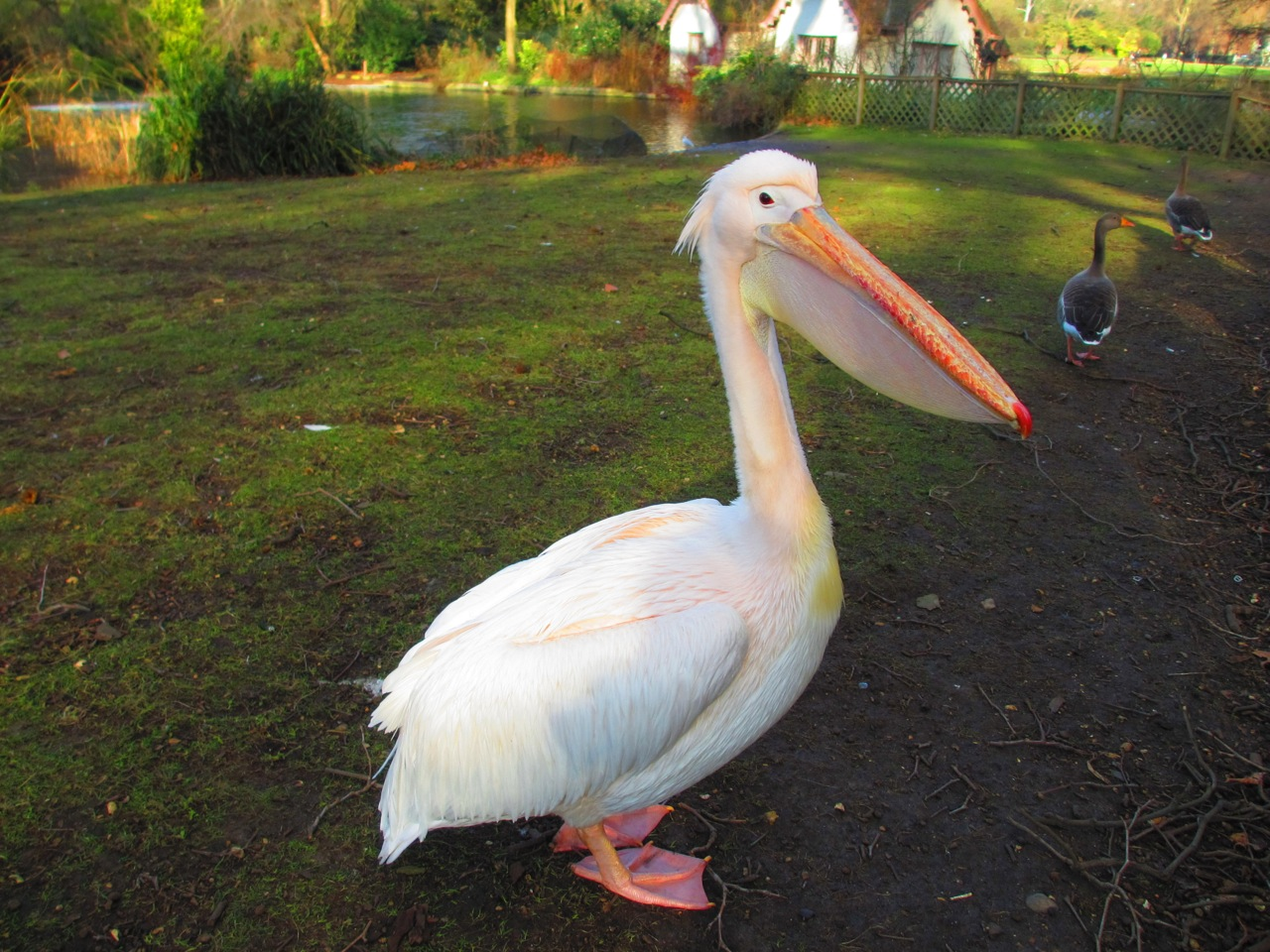 Pelican in St James's Park - spotted on our tour of TV locations for The Crown car-free