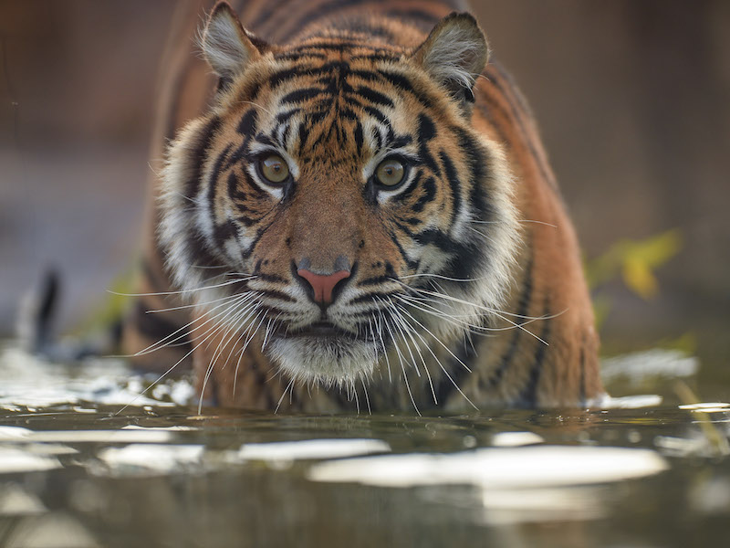 Sumatran tiger at Chester Zoo, spotted on our car-free trips with kids